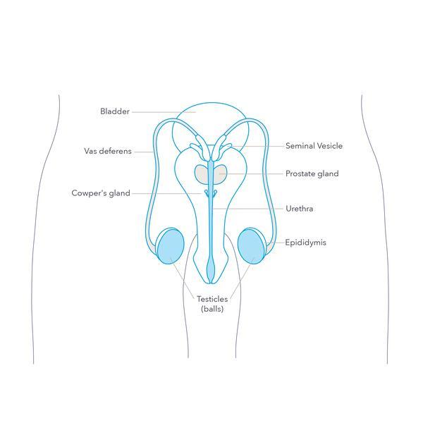 diagram of penis male sexual anatomy penis  scrotum and testicles  male sexual anatomy penis  scrotum
